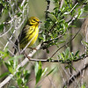 Prairie Warbler   <br /> Point Lookout State Park <br /> St. Mary's County, Maryland