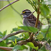 White-throated Sparrow <br /> Point Lookout State Park <br /> St. Mary's County, Maryland