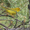 Yellow Warbler   <br /> Point Lookout State Park <br /> St. Mary's County, Maryland