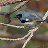 Black-throated Blue Warbler <br /> Point Lookout State Park <br /> St. Mary's County, Maryland