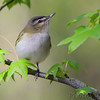 Red-eyed Vireo <br /> Point Lookout State Park <br /> St. Mary's County, Maryland