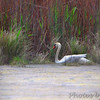 Mute Swan <br /> Point Lookout State Park <br /> St. Mary's County, Maryland