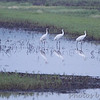 Whooping Cranes  <br /> and Great Egret <br /> Pool 14 <br /> Eagle Bluffs Conservation Area