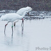 Whooping Cranes <br /> Pool 14 <br /> Eagle Bluffs Conservation Area