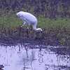 Whooping Crane <br /> Pool 14 <br /> Eagle Bluffs Conservation Area