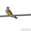 Western Kingbird No.2 <br /> Over levee north side at end of St. Charles Rock Road <br /> Bridgeton, MO
