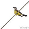 Western Kingbird No.3 <br /> Bridgeton Municipal Athletic Complex (BMAC) <br /> Bridgeton, Missouri