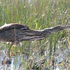 American Bittern <br /> Intersection of Firma and Dalbow Roads <br /> St. Charles County