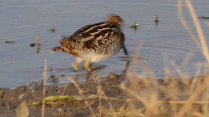 """Wilson's Snipe <br> Pool just before State Park Sign <br> Confluence Road <br> 2016-11-14 <br>  <span class=""""noShowSmart""""> <a href=""""/MyKeywords/Bird-Videos/n-gF9bt/i-FGxjjNz/A""""> <span style=""""color:yellow"""">Click here to open video in lightbox/full screen</span></a> </span>  <span class=""""noShowGallery""""> <a href=""""/Birds/2016-Birding/Birding-2016-November/2016-11-14-RMBS/i-FGxjjNz/A""""> <span style=""""color:yellow"""">Click here to open video in lightbox/full screen</span></a> </span>"""