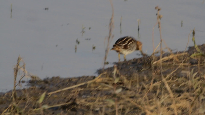"Wilson's Snipe <br> Pool just before State Park Sign <br> Confluence Road <br> 2016-11-14 <br><br>  <span class=""noShowSmart""> <a href=""/MyKeywords/Bird-Videos/n-gF9bt/i-bZkpWwn/A""> <span style=""color:yellow"">Click here to open video in lightbox/full screen</span></a> </span>  <span class=""noShowGallery""> <a href=""/Birds/2016-Birding/Birding-2016-November/2016-11-14-RMBS/i-bZkpWwn/A""> <span style=""color:yellow"">Click here to open video in lightbox/full screen</span></a> </span>"
