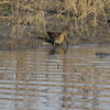 "Wilson's Snipe <br> Pool just before State Park Sign <br> Confluence Road <br> 2016-11-14 <br><br>  <span class=""noShowSmart""> <a href=""/MyKeywords/Bird-Videos/n-gF9bt/i-dxJr7F7/A""> <span style=""color:yellow"">Click here to open video in lightbox/full screen</span></a> </span>  <span class=""noShowGallery""> <a href=""/Birds/2016-Birding/Birding-2016-November/2016-11-14-RMBS/i-dxJr7F7/A""> <span style=""color:yellow"">Click here to open video in lightbox/full screen</span></a> </span>"