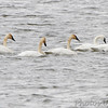 2 Tundra Swans and 3 Trumpeter Swans <br /> Ellis Bay <br /> Riverlands Migratory Bird Sanctuary