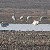 Sandhill Cranes and Trumpeter Swans <br /> Cora Island Road