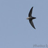 Chimney Swift <br /> Tower Grove Park