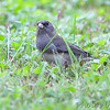 Dark-eyed Junco <br /> Tower Grove Park