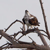 Osprey <br /> Lincoln Shields   <br /> Riverlands Migratory Bird Sanctuary <br /> 2016-10-07