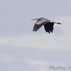 Great Blue Heron <br /> Flyover Heron Pond <br /> Riverlands Migratory Bird Sanctuary <br /> 2016-10-10
