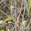 White-crowned Sparrow <br /> Heron Pond <br /> Riverlands Migratory Bird Sanctuary <br /> 2016-10-10