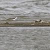 Black-necked Stilt <br /> Ellis Bay   <br /> Riverlands Migratory Bird Sanctuary <br /> 2016-10-07