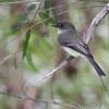 Eastern Phoebe <br /> Maple Island Road  <br /> Riverlands Migratory Bird Sanctuary <br /> 2016-10-10