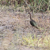 White-faced Ibis <br /> Heron Pond <br /> Riverlands Migratory Bird Sanctuary <br /> 2016-10-10