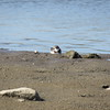 Semipalmated Plover <br /> Riverlands Migratory Bird Sanctuary <br /> 2016-10-14