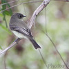 Eastern Phoebe <br /> Maple Island Road  <br /> Riverlands Migratory Bird Sanctuary <br /> 2016-10-10