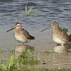Long-billed Dowitcher <br /> Ellis Bay <br /> Riverlands Migratory Bird Sanctuary