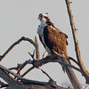 Osprey <br /> Lincoln Shields<br /> Riverlands Migratory Bird Sanctuary