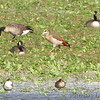 Egyptian Goose <br /> Ellis Bay <br /> Riverlands Migratory Bird Sanctuary