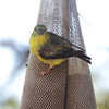 American Goldfinch <br /> Bridgeton, MO <br /> 2016-10-22