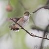 Ruby-throated Hummingbird <br /> (Out kitchen window backyard) <br /> Bridgeton, MO <br /> 2016-10-02