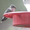 Ruby-throated Hummingbird <br /> (Out front window) <br /> Bridgeton, MO <br /> 2016-10-03
