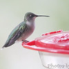 Ruby-throated Hummingbird <br /> (Out kitchen window backyard) <br /> Bridgeton, MO <br /> 2016-10-03