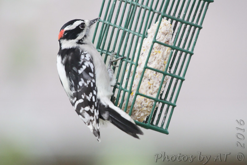 Downy Woodpecker <br /> Bridgeton, MO <br /> 2016-10-20