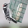 Downy Woodpecker <br /> Bridgeton, MO <br /> 2016-10-20