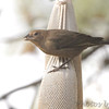 Brown-headed Cowbird (female) <br /> Bridgeton, MO <br /> 2016-10-31