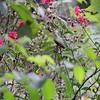 Ruby-throated Hummingbird <br /> Bridgeton, MO <br /> 2016-10-02