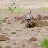 American Golden Plover <br /> Keetman Sod Farm