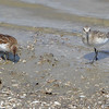 Least and Baird's Sandpiper <br /> Ellis Bay <br /> Riverlands Migratory Bird Sanctuary
