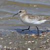 Baird's Sandpiper <br /> Ellis Bay <br /> Riverlands Migratory Bird Sanctuary