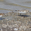 Least and Baird's Sandpipers <br /> Ellis Bay <br /> Riverlands Migratory Bird Sanctuary