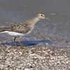Pectoral Sandpiper <br /> Ellis Bay <br /> Riverlands Migratory Bird Sanctuary