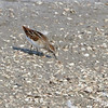 Least Sandpiper <br /> Ellis Bay <br /> Riverlands Migratory Bird Sanctuary
