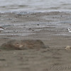 Semipalmated and Piping Plover  (banded) <br /> Ellis Bay <br /> Riverlands Migratory Bird Sanctuary