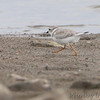 Piping Plover <br /> Ellis Bay <br /> Riverlands Migratory Bird Sanctuary