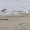 Piping Plover (banded)  and Least Sandpiper <br /> Ellis Bay <br /> Riverlands Migratory Bird Sanctuary