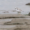 Piping Plover  (banded) <br /> Ellis Bay <br /> Riverlands Migratory Bird Sanctuary