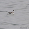 Sabine's Gull <br /> Off point 14 <br /> Longview Lake south of Kansas City <br /> 2016-09-13<br /> <br /> No. 345 on my Lifetime List of Birds <br /> Photographed in Missouri