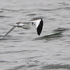 Sabine's Gull <br /> Off point 14 <br /> Longview Lake south of Kansas City